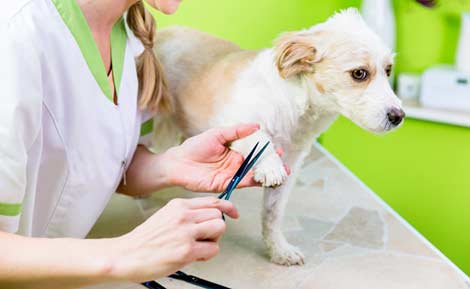 manicure-per-cane-nel-salone-di-toelettatura-per-animali-domestici
