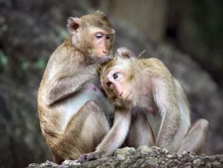 Grooming scimmie