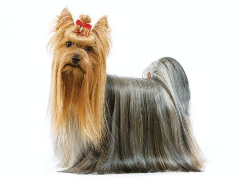 yorkshire terrier toelettatura